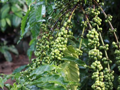 green coffee benefitsmishry