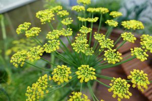 fennel plant-mishry